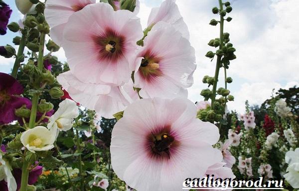 Мальва-цветок-Описание-особенности-виды-и-уход-за-мальвой-15