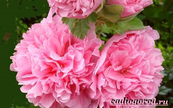 Мальва-цветок-Описание-особенности-виды-и-уход-за-мальвой-6