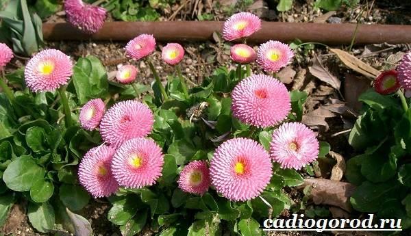 Маргаритки-цветы-Описание-особенности-уход-и-виды-маргариток-21