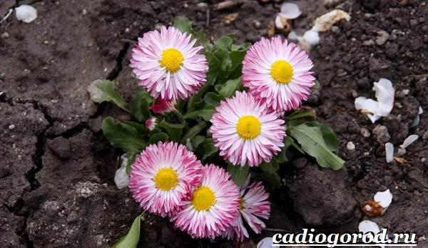 Маргаритки-цветы-Описание-особенности-уход-и-виды-маргариток-23-1