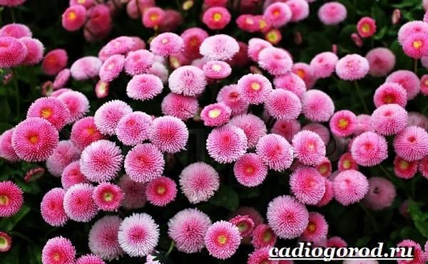 Маргаритки-цветы-Описание-особенности-уход-и-виды-маргариток-24