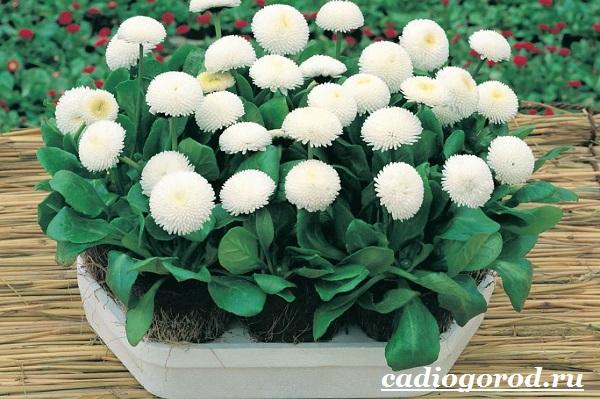 Маргаритки-цветы-Описание-особенности-уход-и-виды-маргариток-8