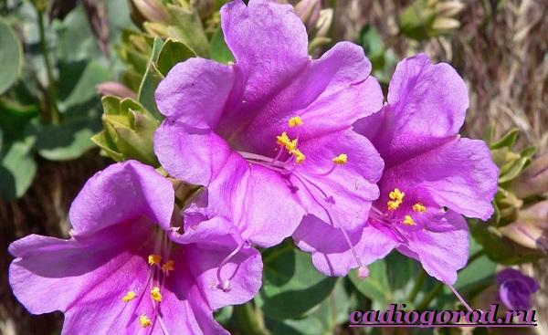Мирабилис-цветок-Описание-особенности-виды-и-уход-за-мирабилисом-25