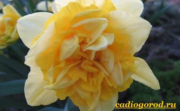 Нарцисс-цветок-Выращивание-нарцисса-Уход-за-нарциссом-11