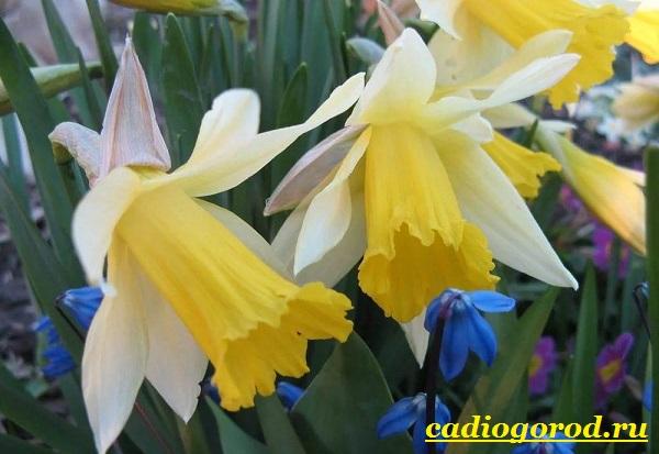 Нарцисс-цветок-Выращивание-нарцисса-Уход-за-нарциссом-5