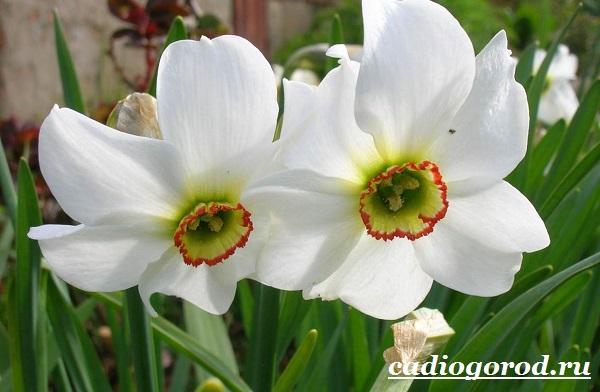 Нарцисс-цветок-Выращивание-нарцисса-Уход-за-нарциссом-8