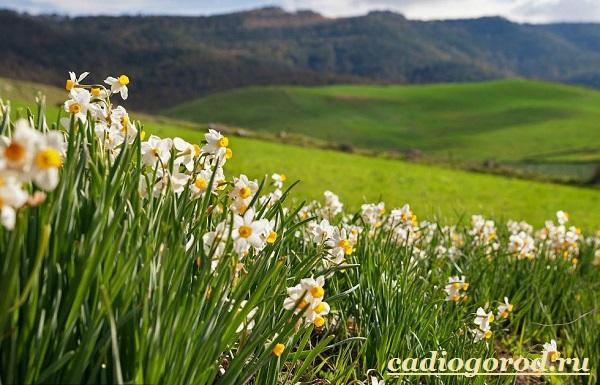 Нарцисс-цветок-Выращивание-нарцисса-Уход-за-нарциссом-9