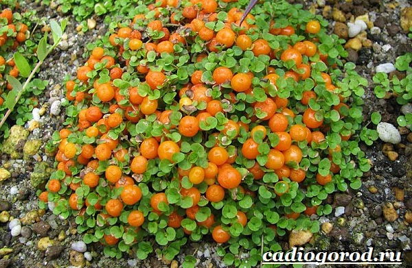 Нертера-цветок-Описание-особенности-виды-и-уход-за-нертерой-8