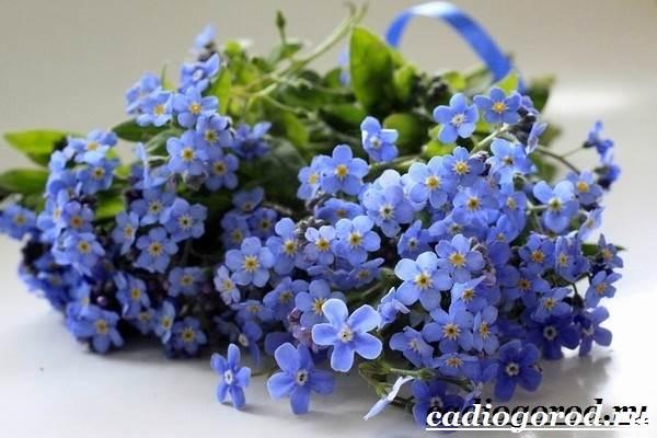 Незабудка-цветок-Выращивание-незабудок-Уход-за-незабудками-1