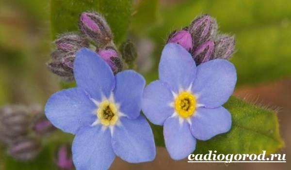 Незабудка-цветок-Выращивание-незабудок-Уход-за-незабудками-14