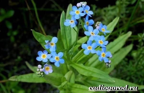 Незабудка-цветок-Выращивание-незабудок-Уход-за-незабудками-15
