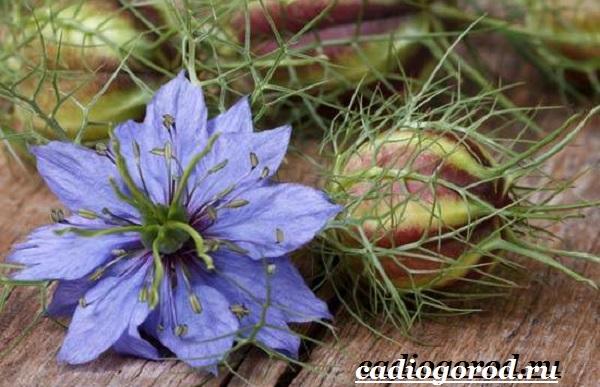 Нигелла-цветок-Описание-особенности-виды-и-уход-за-нигеллой-12
