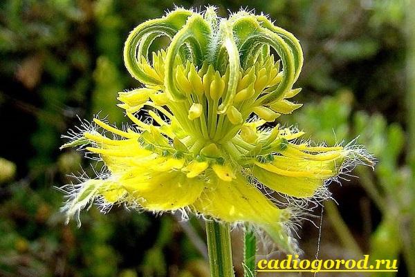 Нигелла-цветок-Описание-особенности-виды-и-уход-за-нигеллой-13