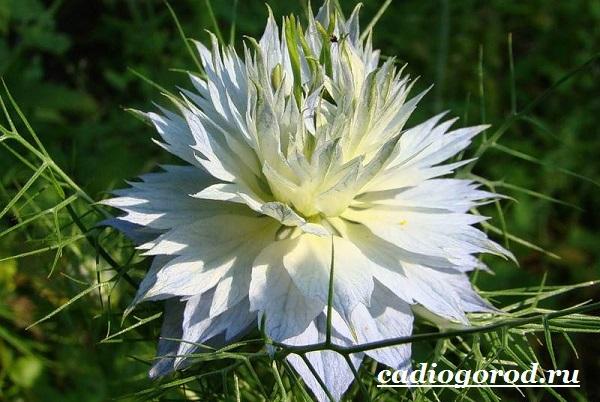 Нигелла-цветок-Описание-особенности-виды-и-уход-за-нигеллой-14