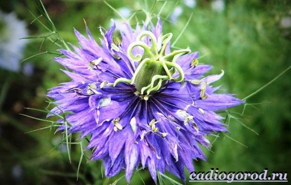 Нигелла-цветок-Описание-особенности-виды-и-уход-за-нигеллой-5