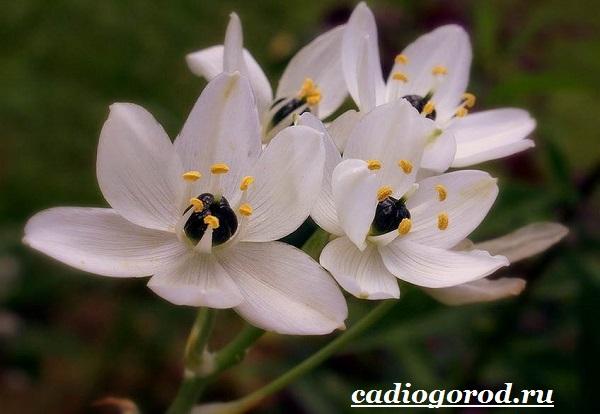 Орнитогалум-цветок-Описание-особенности-виды-и-уход-за-орнитогалумом-3