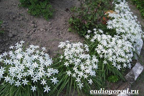 Орнитогалум-цветок-Описание-особенности-виды-и-уход-за-орнитогалумом-5