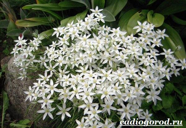 Орнитогалум-цветок-Описание-особенности-виды-и-уход-за-орнитогалумом-7