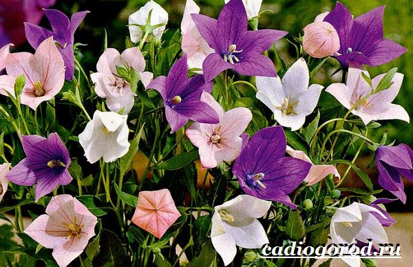Платикодон цветок. Описание, особенности, виды и уход за платикодоном-11