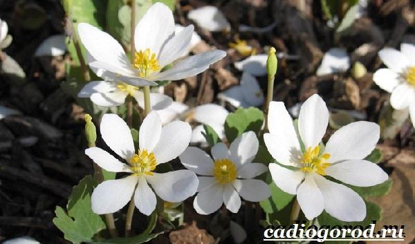 Платикодон цветок. Описание, особенности, виды и уход за платикодоном-5