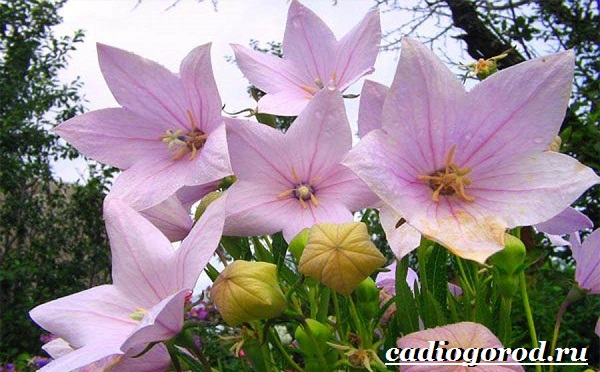 Платикодон цветок. Описание, особенности, виды и уход за платикодоном-8