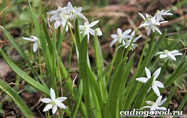Пролески-цветы-Описание-особенности-виды-и-уход-за-пролесками-19