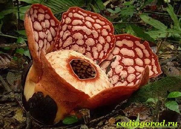 Раффлезия-цветок-Выращивание-раффлезии-Виды-и-уход-за-раффлезией-6