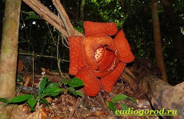 Раффлезия-цветок-Выращивание-раффлезии-Виды-и-уход-за-раффлезией-7