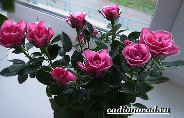 Роза-комнатная-Описание-особенности-виды-и-уход-за-комнатной-розой-10