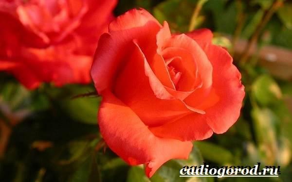 Роза-комнатная-Описание-особенности-виды-и-уход-за-комнатной-розой-12