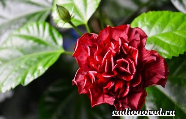 Роза-комнатная-Описание-особенности-виды-и-уход-за-комнатной-розой-15
