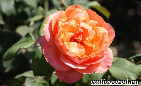 Роза-комнатная-Описание-особенности-виды-и-уход-за-комнатной-розой-3