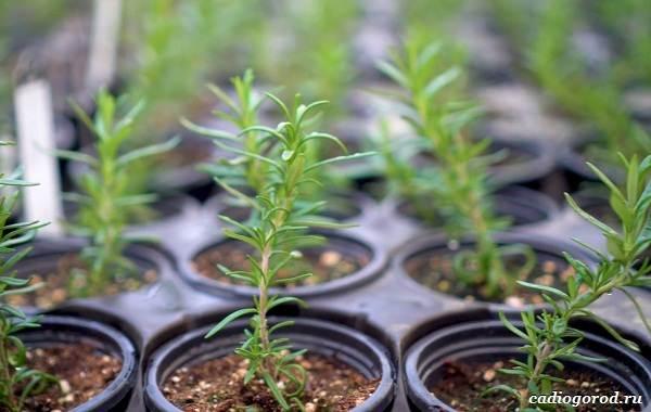 Розмарин-растение-Описание-особенности-виды-и-выращивание-11