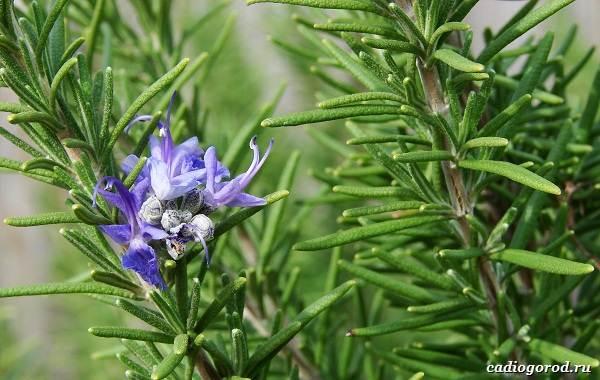 Розмарин-растение-Описание-особенности-виды-и-выращивание-6