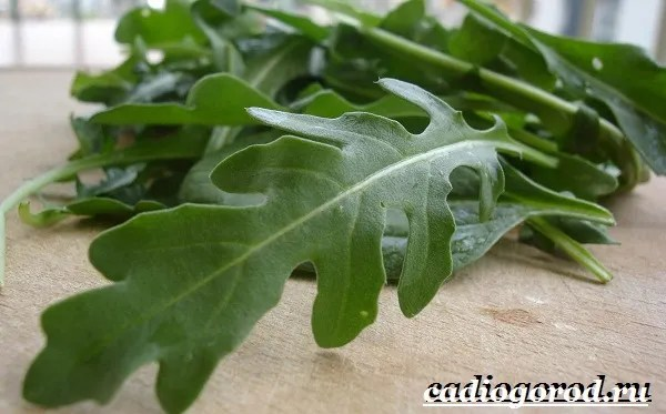 Руккола-растение-Выращивание-рукколы-Виды-и-уход-за-рукколой-7