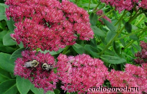 Седум-цветок-Описание-особенности-виды-и-уход-за-седумом-17