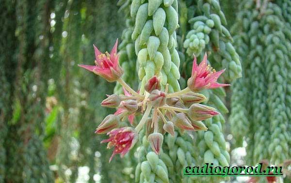 Седум-цветок-Описание-особенности-виды-и-уход-за-седумом-6