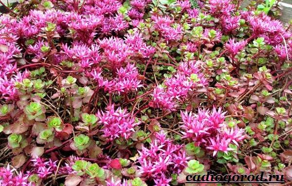 Седум-цветок-Описание-особенности-виды-и-уход-за-седумом-7