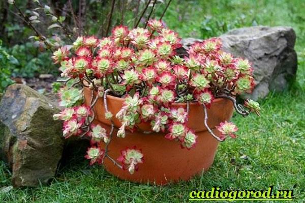 Седум-цветок-Описание-особенности-виды-и-уход-за-седумом-9