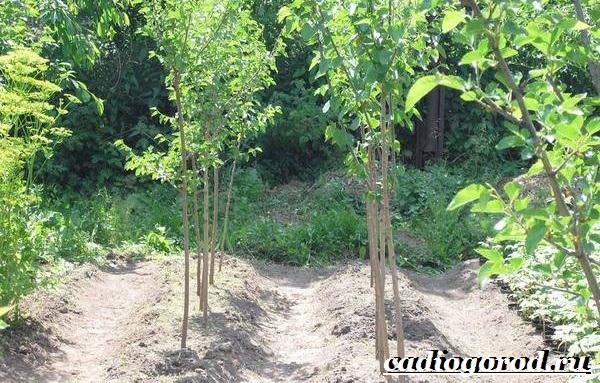 Шелковица-тутовое-дерево-Описание-особенности-виды-и-уход-за-шелковицей-13