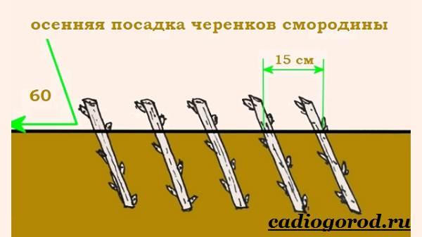 Смородина-ягода-Выращивание-смородины-Уход-за-смородиной-16