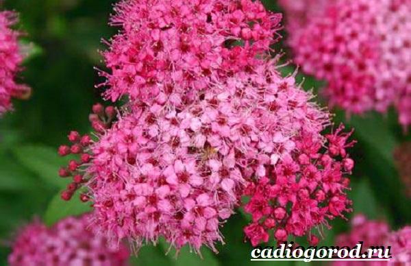 Спирея-цветок-Описание-особенности-виды-и-уход-за-спиреей-12