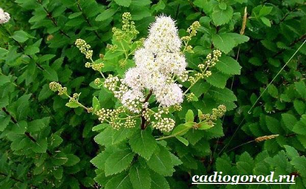 Спирея-цветок-Описание-особенности-виды-и-уход-за-спиреей-13