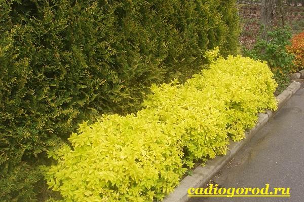 Спирея-цветок-Описание-особенности-виды-и-уход-за-спиреей-7