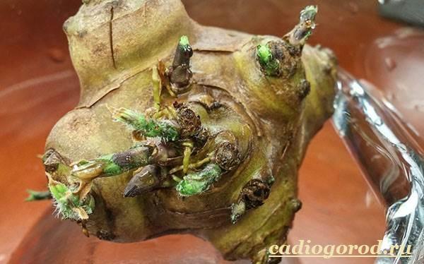 Топинамбур-растение-Выращивание-топинамбура-Уход-за-топинамбуром-6