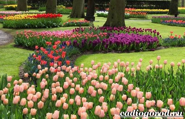 Тюльпан-цветок-Выращивание-тюльпанов-Уход-за-тюльпанами-18