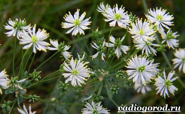 Василистник растение. Описание, особенности, виды и уход за василистником-3