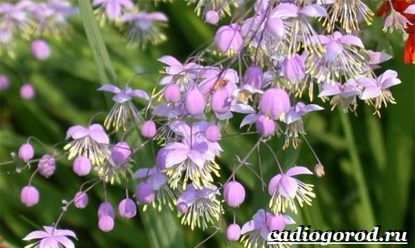 Василистник растение. Описание, особенности, виды и уход за василистником-8