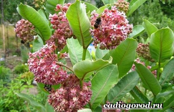 Ваточник-цветок-Описание-особенности-уход-и-виды-ваточника-10