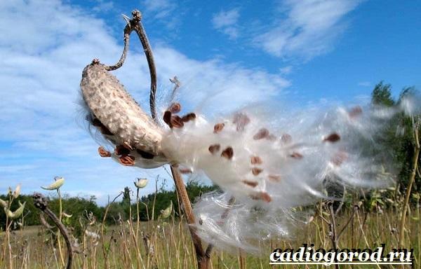 Ваточник-цветок-Описание-особенности-уход-и-виды-ваточника-19